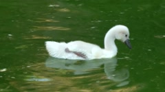 Spain Palma de Mallorca 109 camera accompany cute swan chick over colorful water Stock Footage