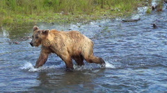 Brown Bear Trots on Bank Then Charges Into Fish Dives & Catches a Salmon Stock Footage