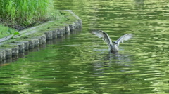 Duck stretching out and dip in the water with his head Stock Footage