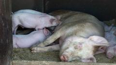 Baby pigs nursing Stock Footage