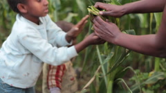 Children harvest maze corn in Africa, Samburu, Kenya Stock Footage