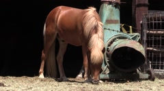 Brown horse grazing outside the stable of the farm - Cicadas chirping Stock Footage