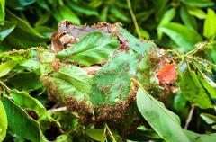 Army of red ants building a nest of leaves Stock Photos