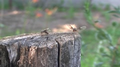 Swarming of flying ants Stock Footage