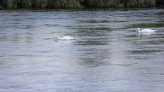 Swans,  seven  river forth Stirling Stock Footage