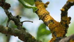 Plum tree branches under  Caloplaca scopularis spores slow tilt 4K 2160p Ultr Stock Footage