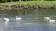 Group of Swans  river forth Stirling - stock footage