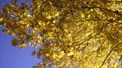 A maple tree in the autumn, Sweden. Stock Footage