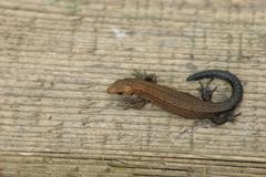 Ordinary wall lizard on wooden board Stock Photos