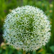Allium white flower growing in the garden Stock Photos