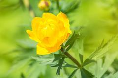 Beautiful orange flower bud in the garden - globe-flower - stock photo