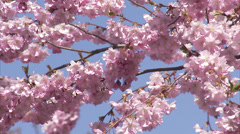 Flowering cherry-trees, Stockholm, Sweden. - stock footage