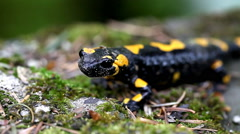 Salamander in the Wild - stock footage