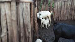 Baby goats drink mothers milk, Kenya, Africa, medium shot Stock Footage