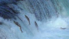 Dozens of Salmon try to Jump Brooks Falls - Zoom Out Stock Footage