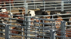 Livestock in Pens Before a Rodeo, 4K Ultra HD Stock Footage
