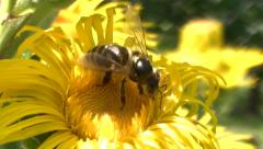 busy honey bee gathering pollen on yellow horse-heal flower - stock footage