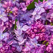 Stock Photo of Beautiful spring lilac flowers ,toned image