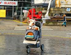 Gent. A dog in a baby carriage. Stock Photos