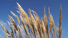 Dry yellow grass is waving in the wind against a clear blue sky, by the sea Stock Footage