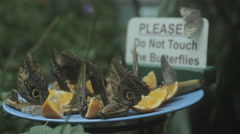 Butterflies feed on orange slices - stock footage