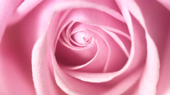 A pink rose, close-up. Stock Footage