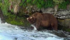 Large Brown Bear Walks Up Rapids & Catches a Salmon with Little Effort - stock footage