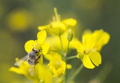 Working bee on canola plant. Stock Photos