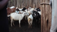 Dirty goats and sheep in poor village goat pen, Kenya, Africa, long shot Stock Footage