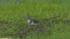 Spotted Sandpiper Shorebird Walking along Lake Stock Footage
