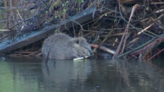 Wild Beaver Feeding on Branch in Wetland Next to Lodge - stock footage