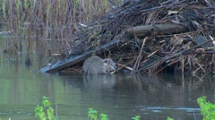 Beaver Feeding on Branch by Beaver Lodge in Wetland Stock Footage