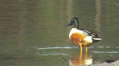 Northern Shoveler Duck Male Drake Standing at Wetland Stock Footage