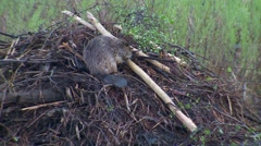 Beaver Carrying Stick and Working on Building Lodge Stock Footage