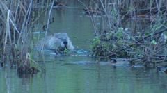Beaver Pair in Wetland Feeding on Stick in Water Stock Footage