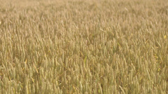 A field of corn in the wind a sunny day, Sweden. Stock Footage
