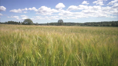 A field of corn in the wind a sunny day, Sweden. - stock footage