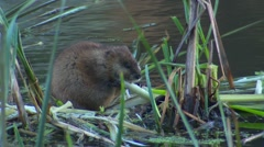 Muskrat Feeding on Cattail Root in Pond - stock footage