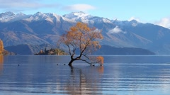 Ducks swimming under a willow tree during Autumn at Lake Wanaka, New Zealand. Stock Footage