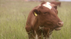 Cow in eating grass, West Coast of Sweden Stock Footage