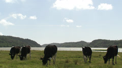 Cows in enclosed field, West Coast of Sweden Stock Footage