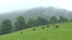 A Herd of Bison Grazes in Green Grass - stock footage