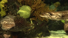 Baracuda Swims Among Other Fish in Aquarium  4K - stock footage