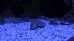 Cuttlefish in Illuminated Aquarium Light Stock Footage