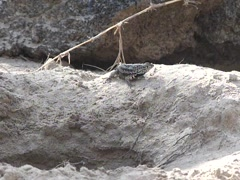 Galapagos Lava Lizard hunting flies Stock Footage