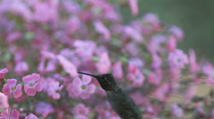 Hummingbird in tiny pink flowers Stock Footage