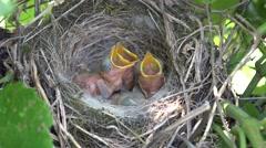 4K Closeup newborn baby bird crying food hungry beak nest open mouth scream day Stock Footage