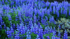 Beautiful Field of Wildflowers. Vibrant Lupines Blowing in the Wind. Stock Footage