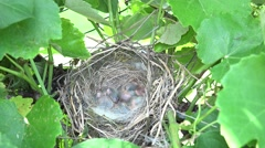 4K Cute baby bird rest nest new born no feather plumage birdhouse small babies  Stock Footage