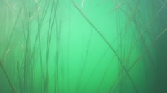 Movement under the water in stems of reeds and a flock of small fish swim Stock Footage